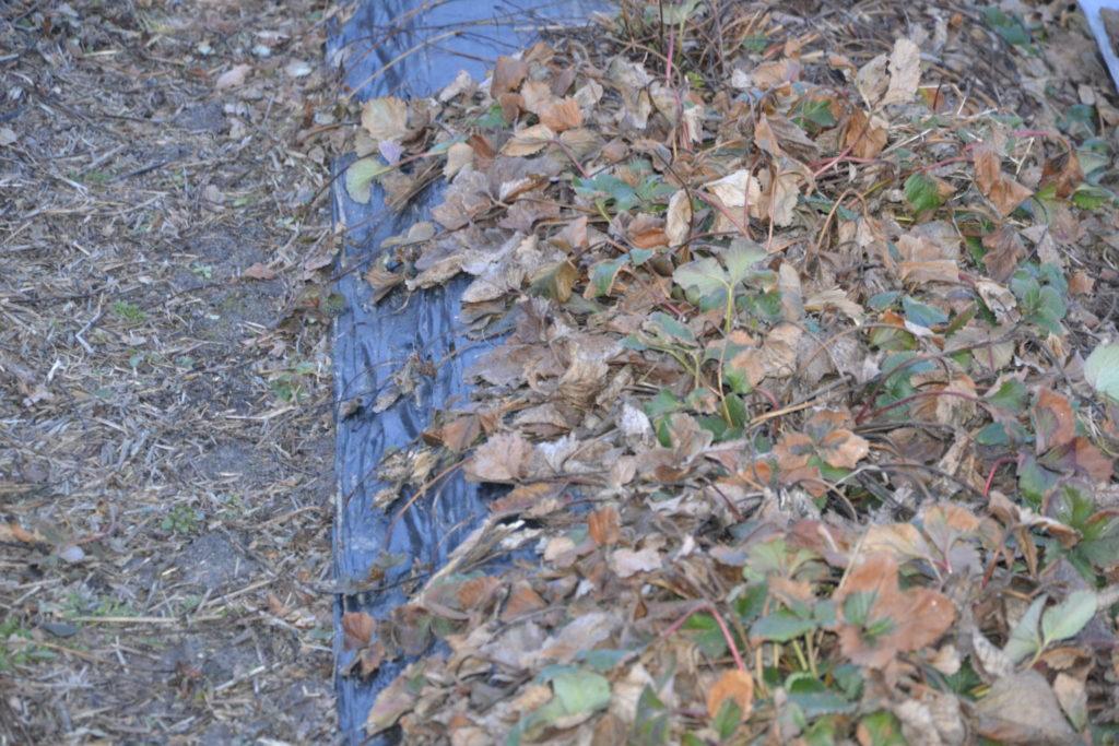 Pielęgnacja-uprawy-truskawek-wczesną-wiosną