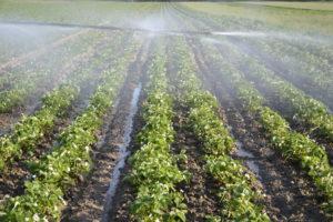 Deszczownia-najlepsza-metoda-nawadniania-plantacji